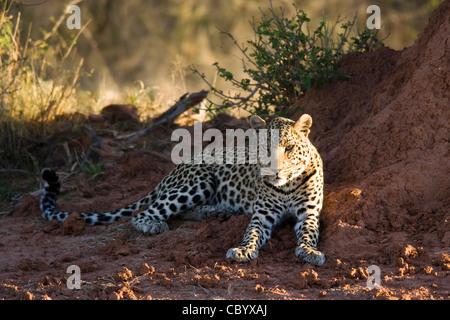 Leopard da termite mound - Fondazione Africat - l'Okonjima, nei pressi di Otjiwarongo, Namibia, Africa Foto Stock