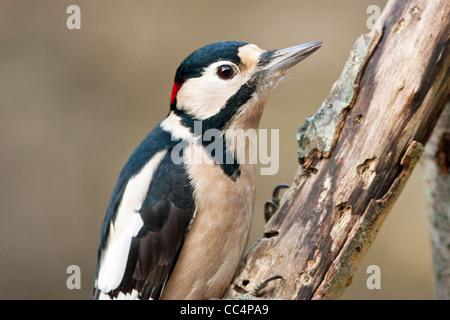 Picchio rosso maggiore maschio adulto sul ramo marcio Foto Stock