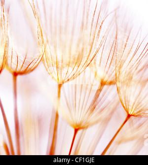 Abstract di tarassaco sfondo floreale, extreme closeup con soft focus, la bellissima natura dettagli Foto Stock