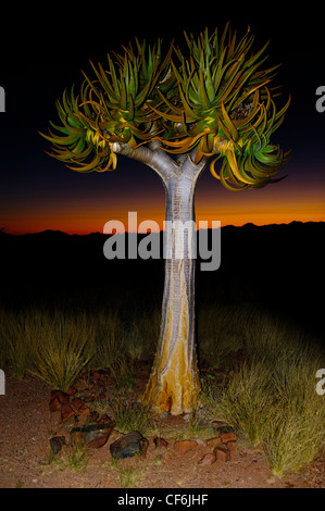 Qiuver tree (Aloe dichotoma) al tramonto, Namib Desert, Namibia. Foto Stock