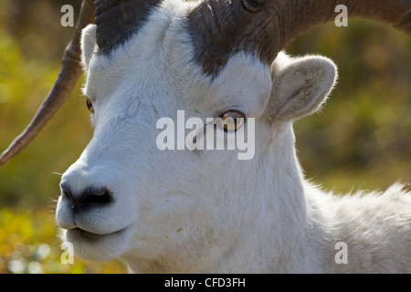 Dall pecore (ovis dalli dalli), RAM, policromi Pass, Parco Nazionale di Denali, Alaska, Stati Uniti d'America Foto Stock