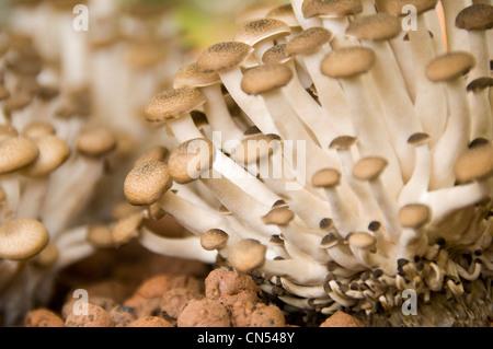 Chiudere orizzontale di Buna funghi shimeji aka marrone di funghi di faggio, Hypsizygus tessellatus, crescendo in Foto Stock