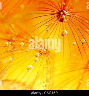 Abstract tarassaco fiore macro sfondo, estrema closeup con gocce di rugiada, soft focus Foto Stock