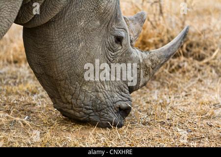 Rinoceronte bianco, quadrato-rhinoceros a labbro, erba rinoceronte (Ceratotherium simum), il pascolo, Sud Africa, Foto Stock