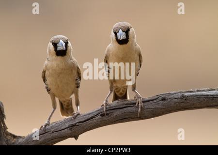 Due socievole weaver uccelli appollaiato a fianco a fianco su un ramo Foto Stock