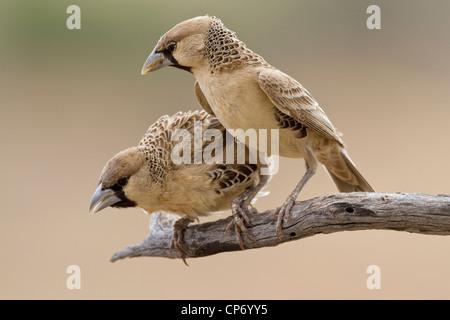 Due socievole weaver uccelli su un ramo di un peering verso il basso Foto Stock