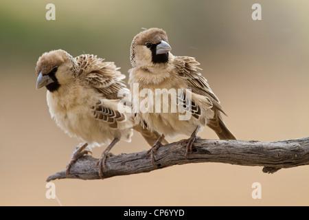 Due socievole weaver uccelli su un ramo Foto Stock