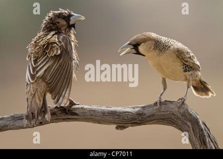 Due socievole weaver uccelli su un ramo una apparentemente essendo gridò a dagli altri Foto Stock