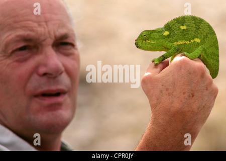 Un camaleonte, trovato attraversando la strada, è esaminato e mettere in sicurezza indietro nella boccola. Foto Stock