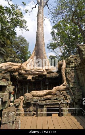 Verticale fino in prossimità delle radici di un Spung albero che cresce attraverso le rovine di Ta Prohm aka Rajavihara Foto Stock