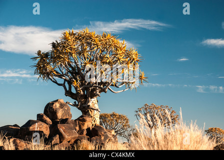 Faretra alberi, Kocurboom, Aloe dichotoma, Quiver tree forest, Gariganus Farm, Keetmannshoop, Namibia, Africa Foto Stock