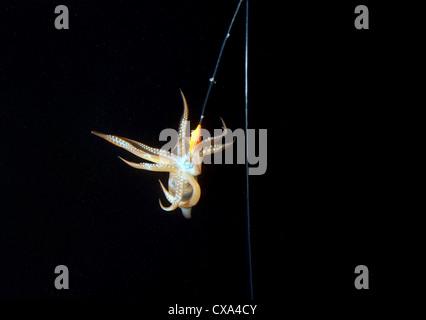 La pesca notturna su un calamaro, giapponese Calamari comuni o giapponese totani (Todarodes pacificus) Giappone Foto Stock