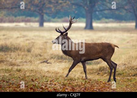 Il cervo (Cervus elaphus) stag ritratto, passeggiate, profilo, Richmond Park, Regno Unito Foto Stock