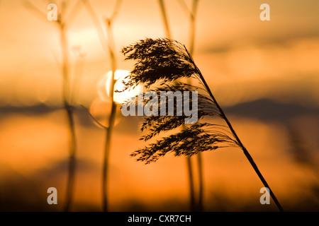 Reed al tramonto, Poel isola, Meclemburgo-Pomerania Occidentale, Germania, Europa Foto Stock
