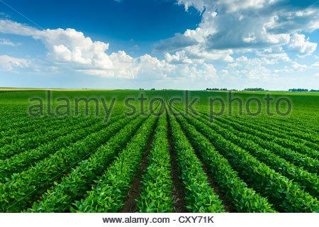 Un verde campo di soia nel centro di Iowa in corrispondenza della sua metà stagione lo stadio di crescita. Foto Stock