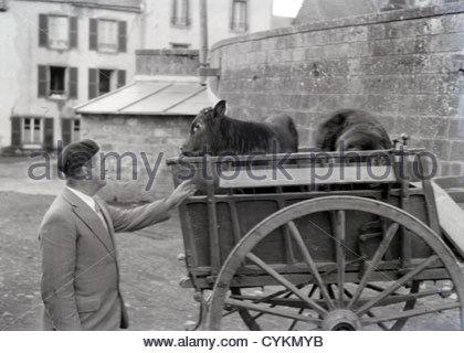 Uomo con vitelli su un carro 1930s Foto Stock