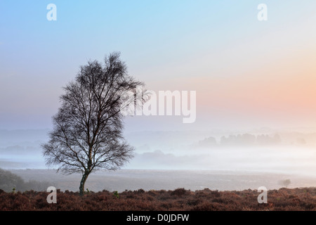 Un lone tree a Mogshade Hill nel New Forest. Foto Stock