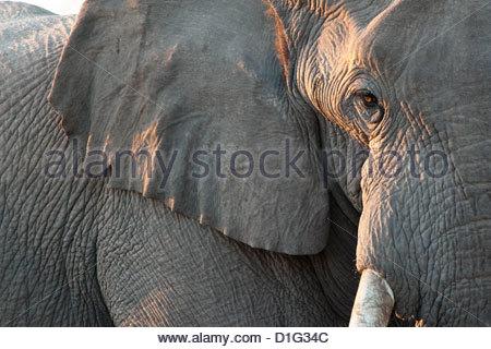 In prossimità della faccia parziale, dell' elefante africano (Loxodonta africana), il Parco Nazionale di Etosha, Foto Stock