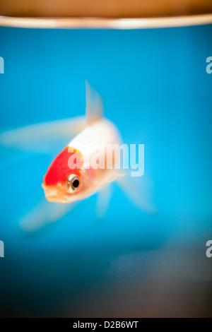 Vannes, Francia, un cappuccio rosso Oranda pesci rossi in un globo di vetro Foto Stock