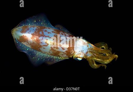 Close up di calamari sott'acqua di notte Foto Stock