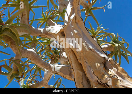Faretra albero / Kocurboom (Aloe dichotoma) al Fish River Canyon, Namibia, Sud Africa Foto Stock