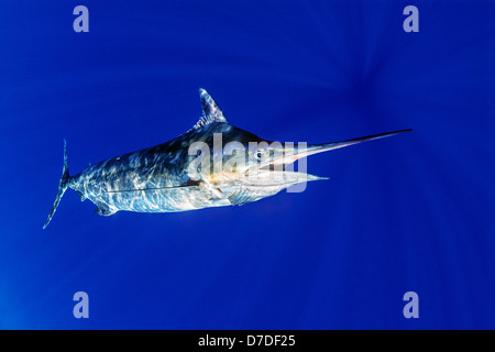 Blue Marlin Makaira nigricans, Costa di Kona, Big Island, Hawaii, STATI UNITI D'AMERICA Foto Stock
