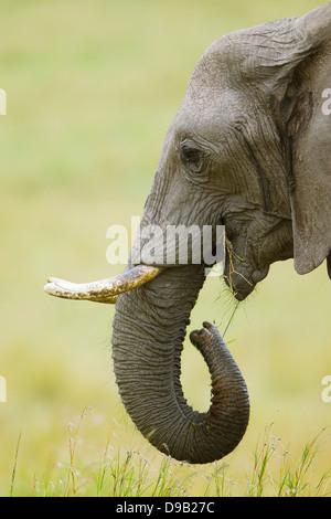 Elephant close-up verticale, il Masai Mara, Kenya Foto Stock