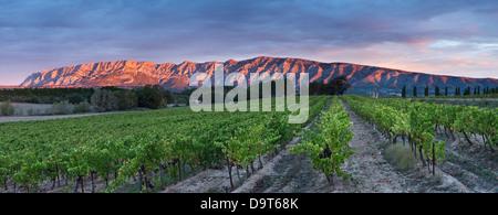 Un vigneto nr Puyloubier con le Montagne Ste Victoire all'alba, Var, Provenza, Francia Foto Stock
