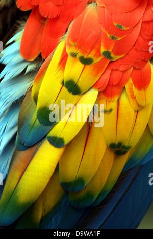 Piume di pappagallo / piumaggio close up Foto Stock