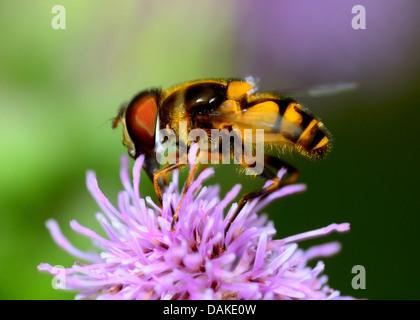 Hoverfly arroccato su di un fiore per raccogliere il polline. Foto Stock
