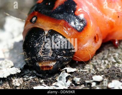 Capra Moth caterpillar (Cossus cossus) close-up Foto Stock