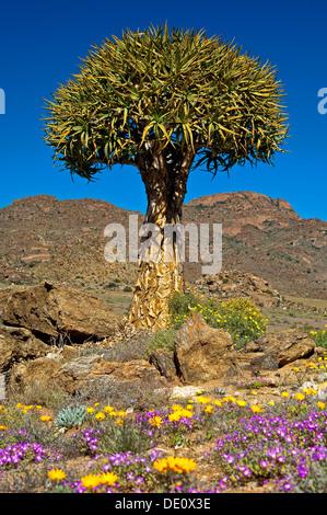 Faretra gigante albero, Kocurboom, Aloe dichotoma, Goegap riserva naturale, Namaqualand, Sud Africa Foto Stock