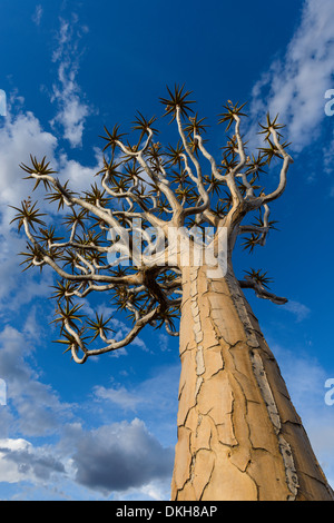 Faretra tree (kocurboom) (Aloe dichotoma) al Quiver Tree Forest, Keetmanshoop, Namibia, Africa Foto Stock