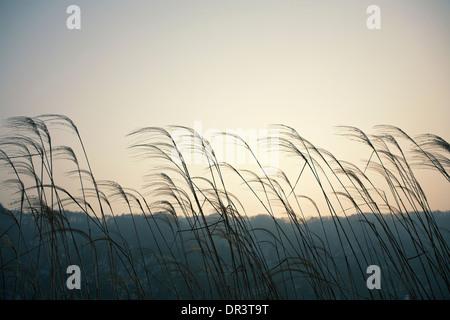 Canne in piedi in una zona umida e tramonto del sole che splende su canne Foto Stock