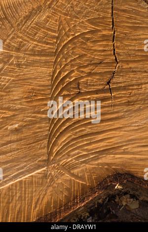 Chainsaw segna tagli nel moncone di coppia argento betulla soffiata oltre nel bout di strong gale force venti Foto Stock