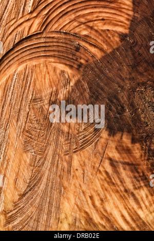 Chainsaw segna tagli nel moncone di conifera albero bruciato nel bout di strong gale force venti Foto Stock