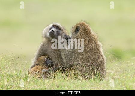 Babbuino oliva (papio anubis) due adulti reciprocamente toelettatura e un giovane lattante, il Masai Mara, Kenya, Foto Stock