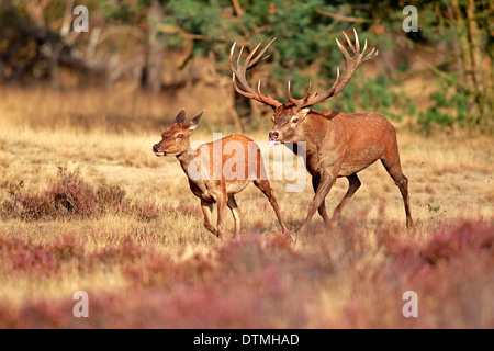 Cervi, maschio e femmina, Hoge Veluwe Nationalpark, Paesi Bassi, Europa / (Cervus elaphus) / rut, solchi stagione Foto Stock
