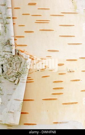 L'Himalayan betulla o bianco-abbaiato Himalayan Birch (Betula utilis), corteccia Foto Stock