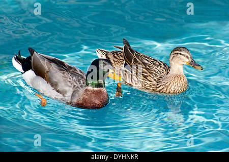 Piume dettagliata su due uccelli Mallard nuoto in piscina nel parco Foto Stock