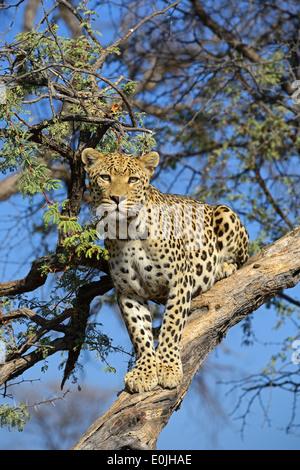 Leopard (Panthera pardus) haelt Ausschau auf einem Baum am Abend , Regione Khomas, Namibia, Afrika Foto Stock