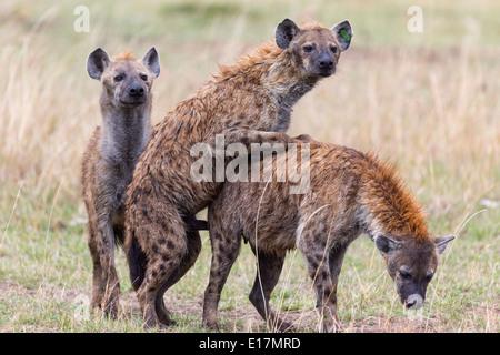 Spotted hyaena (Crocuta crocuta) coniugata.Masai Mara riserva nazionale. Kenya Foto Stock
