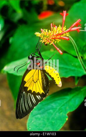 Comune di Papilionidae Butterfly, (Troides helena), maschio. Vista ventrale, Australasia / Indomalaya ecozone (Australia). Foto Stock