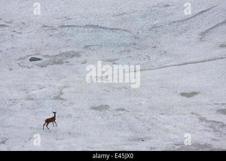 Giovane maschio rosso cervo (Cervus elaphus) passeggiate sulla neve campo per sbarazzarsi di mosche, Tatra Occidentali, Foto Stock