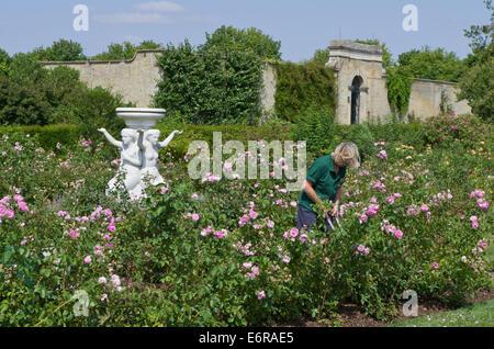 Signora giardiniere lavora nel giardino di rose a strappare Park, UK; una classica statua in marmo in background. Foto Stock