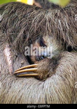 Vista ravvicinata di Brown-Throated tre dita bradipo dormendo, Costa Rica Foto Stock