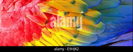 Piume di pappagallo, rosso, giallo e blu texture esotiche, sfondo Foto Stock