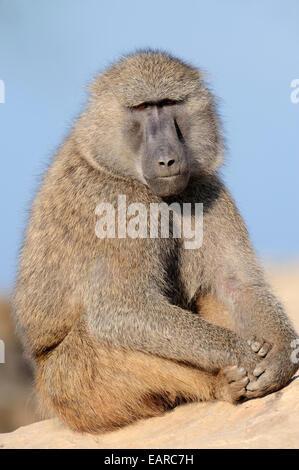 Babbuino oliva (papio anubis), maschio, nativo di Africa, captive, Paesi Bassi Foto Stock