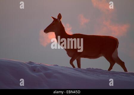 Il cervo (Cervus elaphus), hind camminando su di una coperta di neve pendenza al tramonto, Austria Vorarlberg Foto Stock
