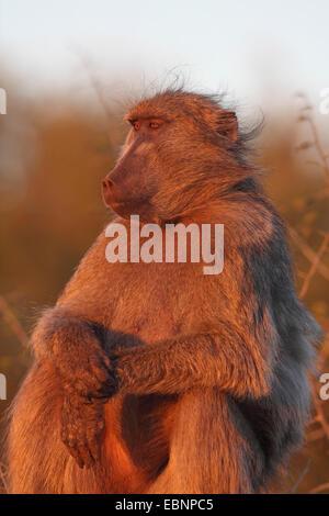 Chacma babbuino, anubius babbuino, oliva babbuino (Papio ursinus, Papio cynocephalus ursinus), seduta sul terreno Foto Stock